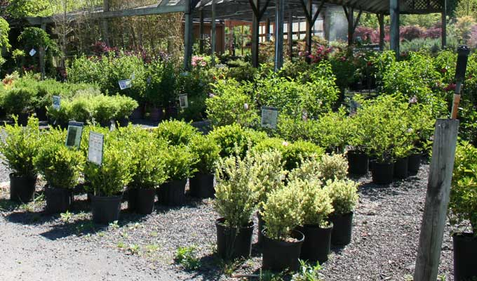Wide assortment of container evergreen shrubs