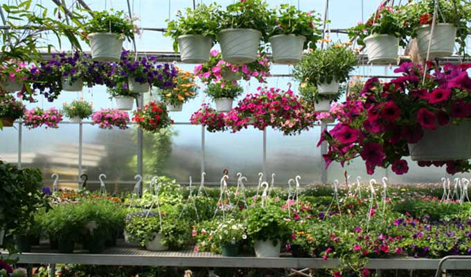 Hanging baskets in mid-June