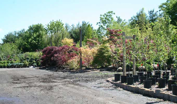 Japanese Maples in display area